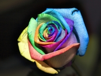 Variagated Rose
