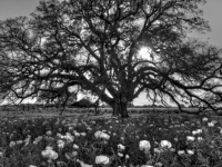Texas Wildflowers And Oak Tree