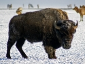 Bison In Jackson Hole, Wyoming