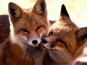 Kissing Foxes