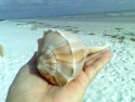 Sanibel Shell