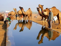 Camels And Reflections
