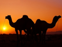 Camels And Sunset