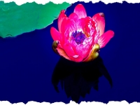 Waterlilly -131-