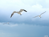 Gulls Fleeing Storm Clouds