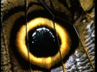 Butterfly Wing With Eye Spot