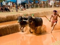 Racing In The Mud At The Annual Buffalo Race, Locally Known As The Kambala