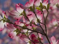 Illuminated Pink Dogwood Blossoms