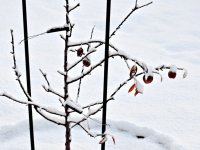 Snow-Coated Apples