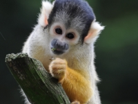 Saimiri (squirrel Monkey)