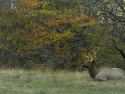 Bull Elk In Smoky Mountains