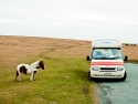 Dartmoor Pony Fancies An Icecream