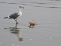 Seagull Vs. Crab
