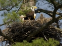 Eagle Family In Nest