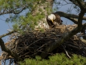 Eagle Family In Nest 2
