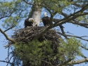 Eagle Family In Nest 3