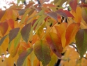 Changing Yellow Sumac Leaves