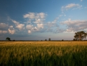 Wheat Fields At Sunset