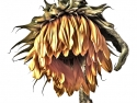 Dying Sunflower #5