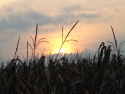 Sunset In Corn