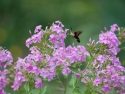 Hummingbird Moth Hovering