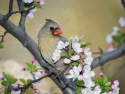 Ms. Cardinal And Apple Blossoms
