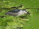 Night Heron Fishing