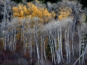 Aspens Quiet Light
