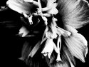 Flower, Black & White