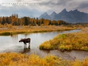 Moose At Schwabacher's Landing