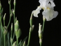 White Iris In The Black Of Night