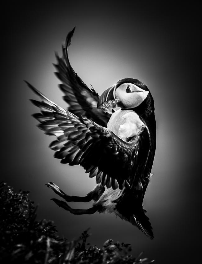 Black and White Puffin