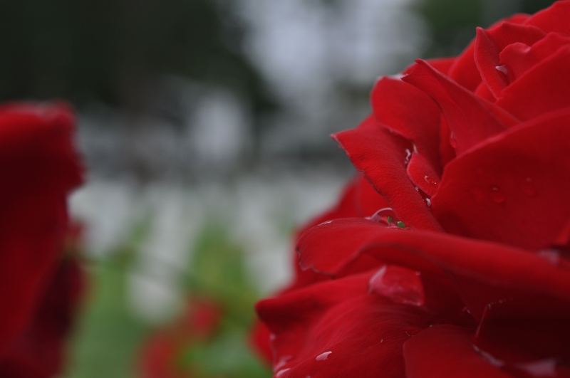 A Rose For The Fallen