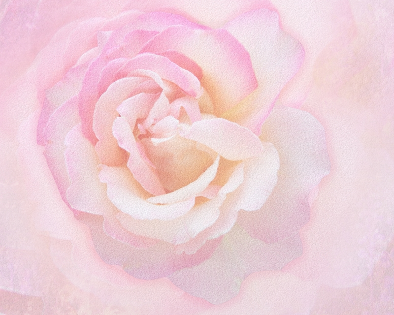 A Rose Named Peace