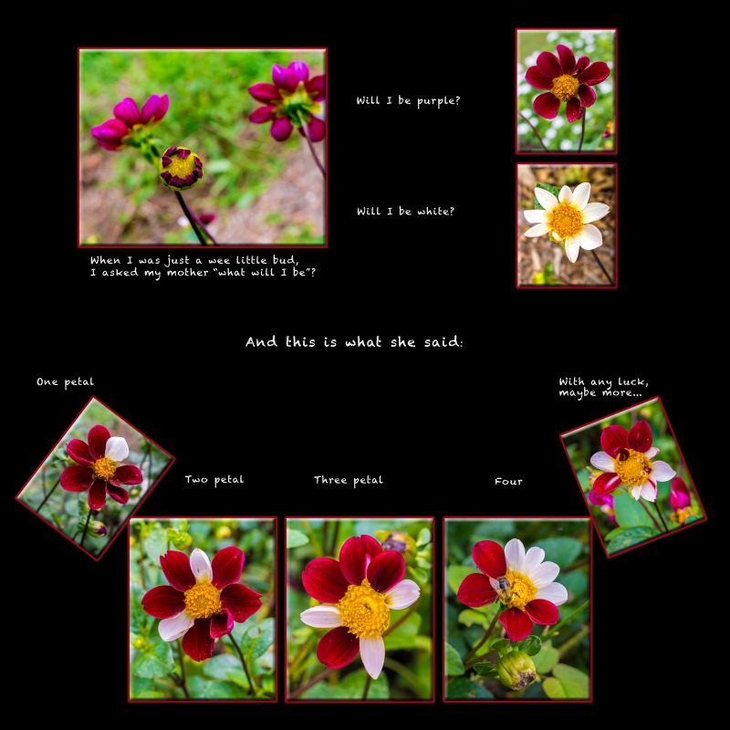 Genetic Variation Of Dahlias