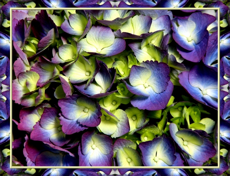 Hydrangea Macro Framed In A Warp Of Itself
