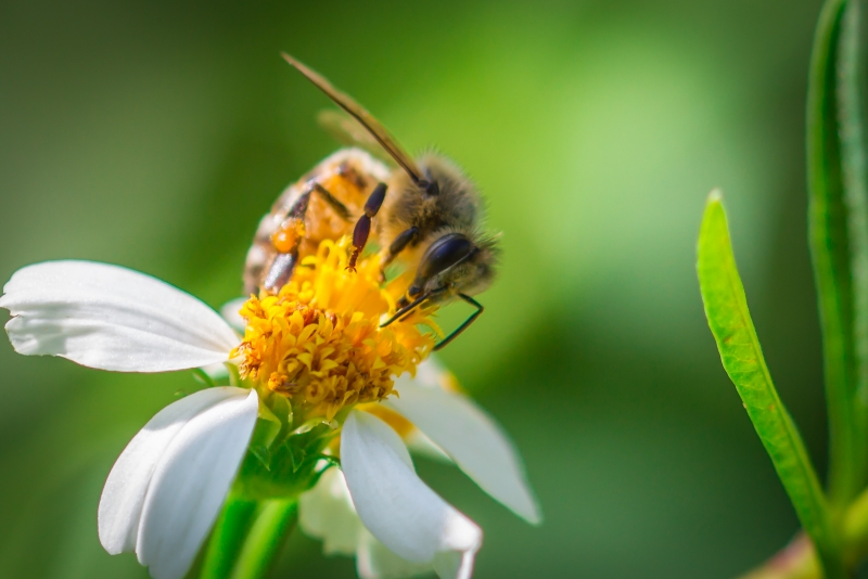 Polinating Bee