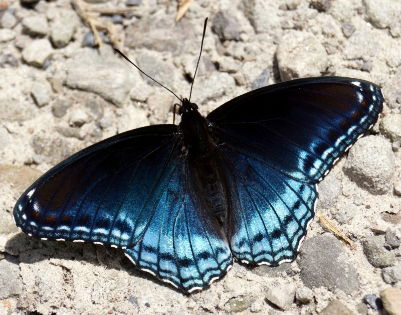 Red Spotted Purple Butterfly – Basking