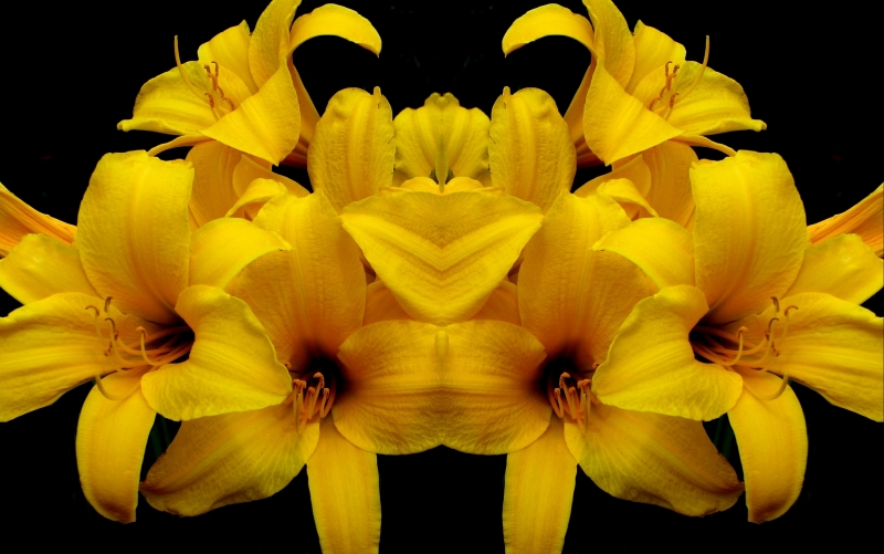 Yellow Lilies Mirrored