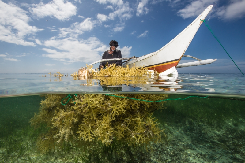 Seaweed Farmer From Caluya