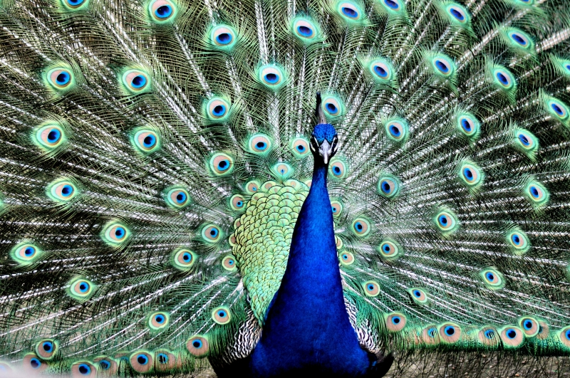 Majestic Peacock