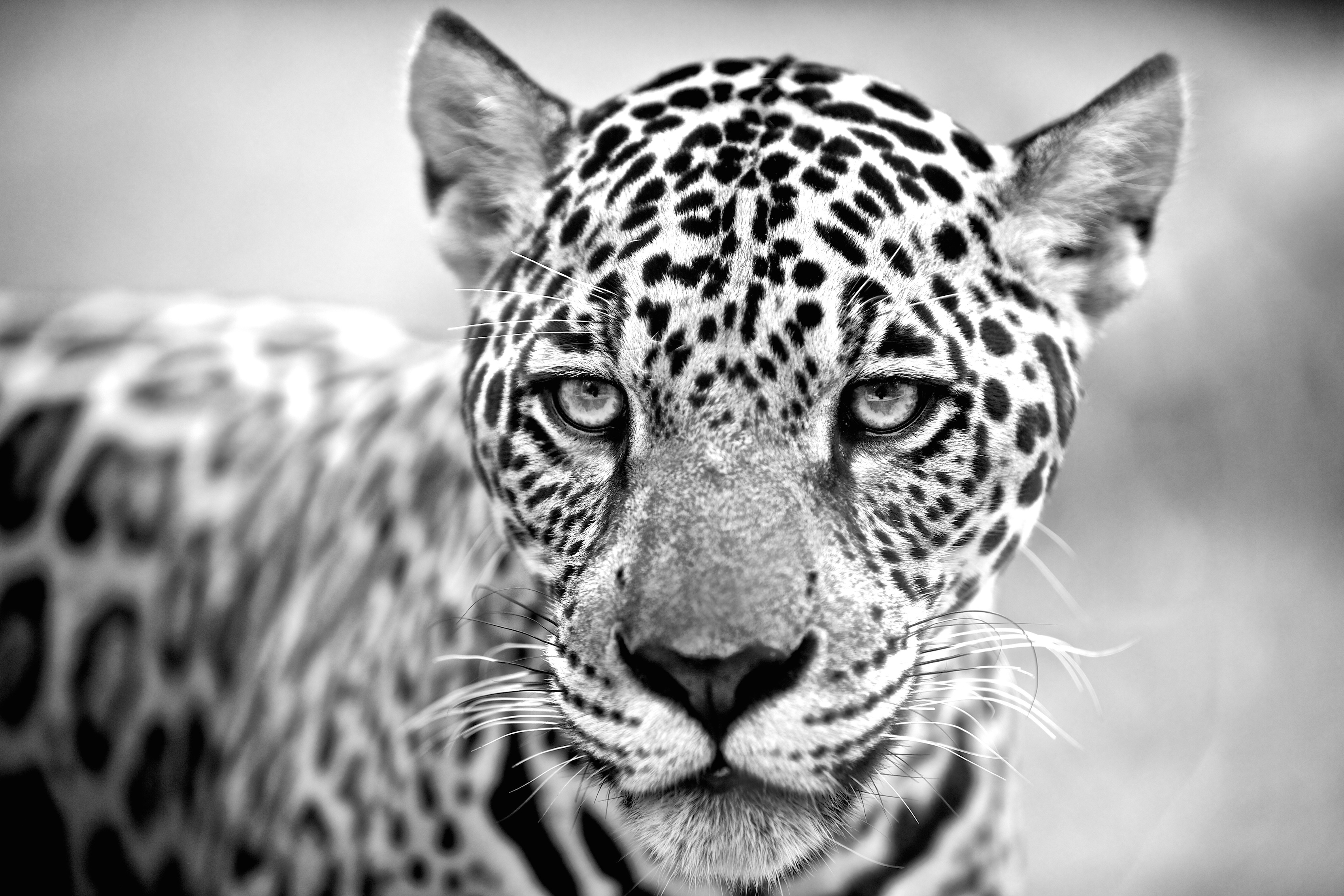 BrazilianJaguar