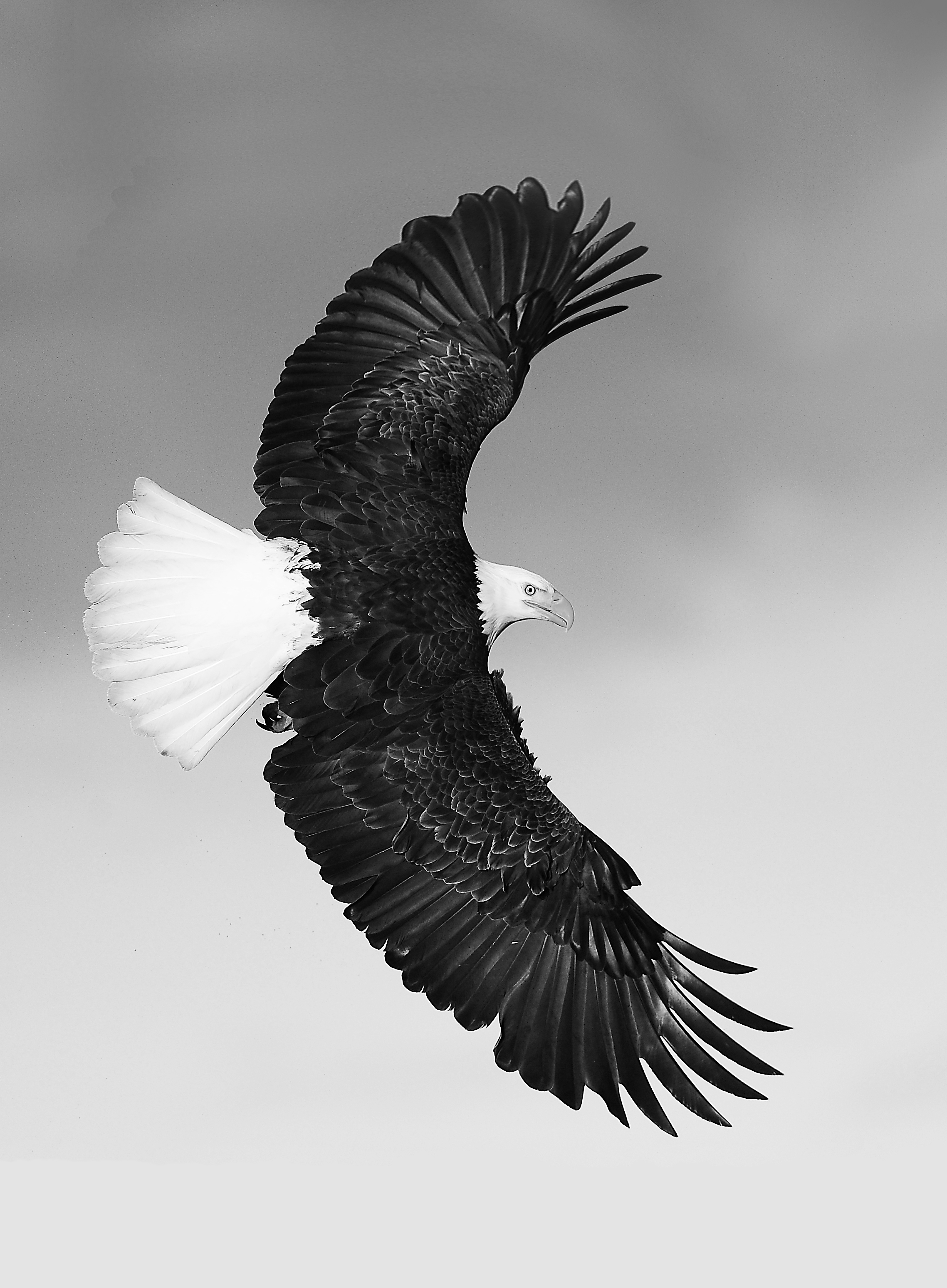 Bald eagle (1018) Best B and W
