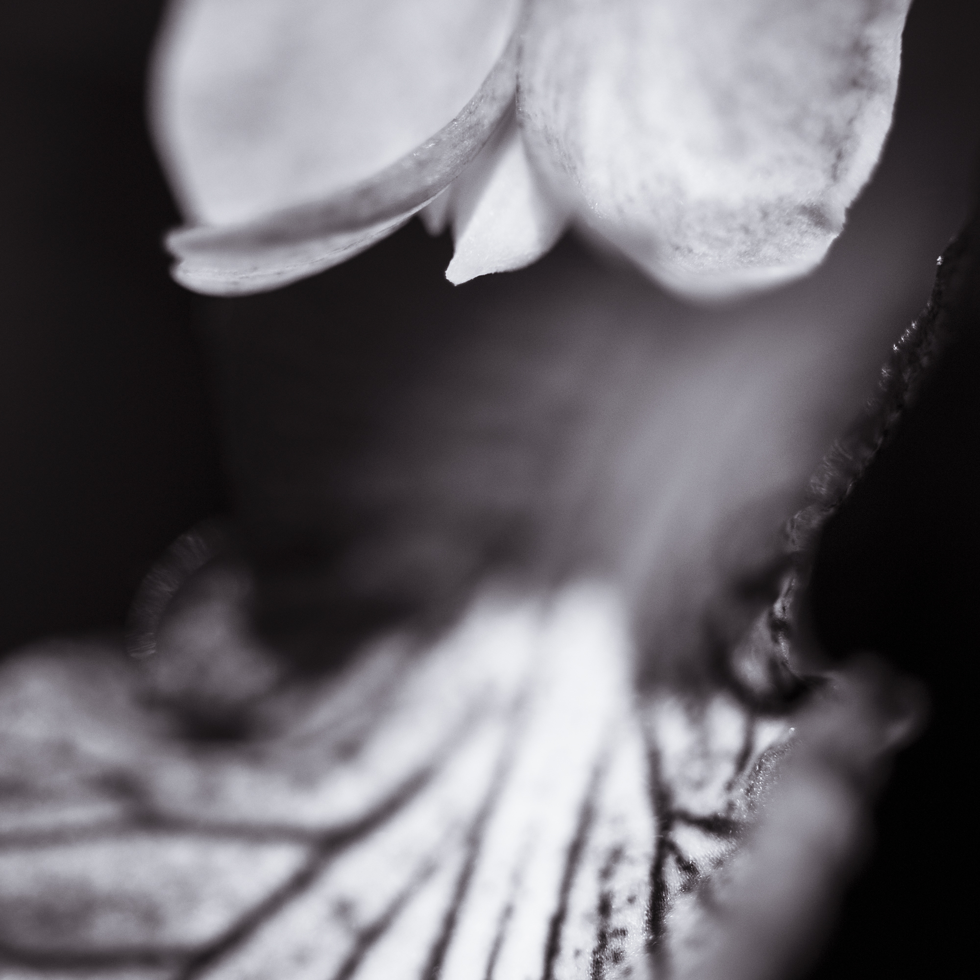 Close Ghost Lily B&W