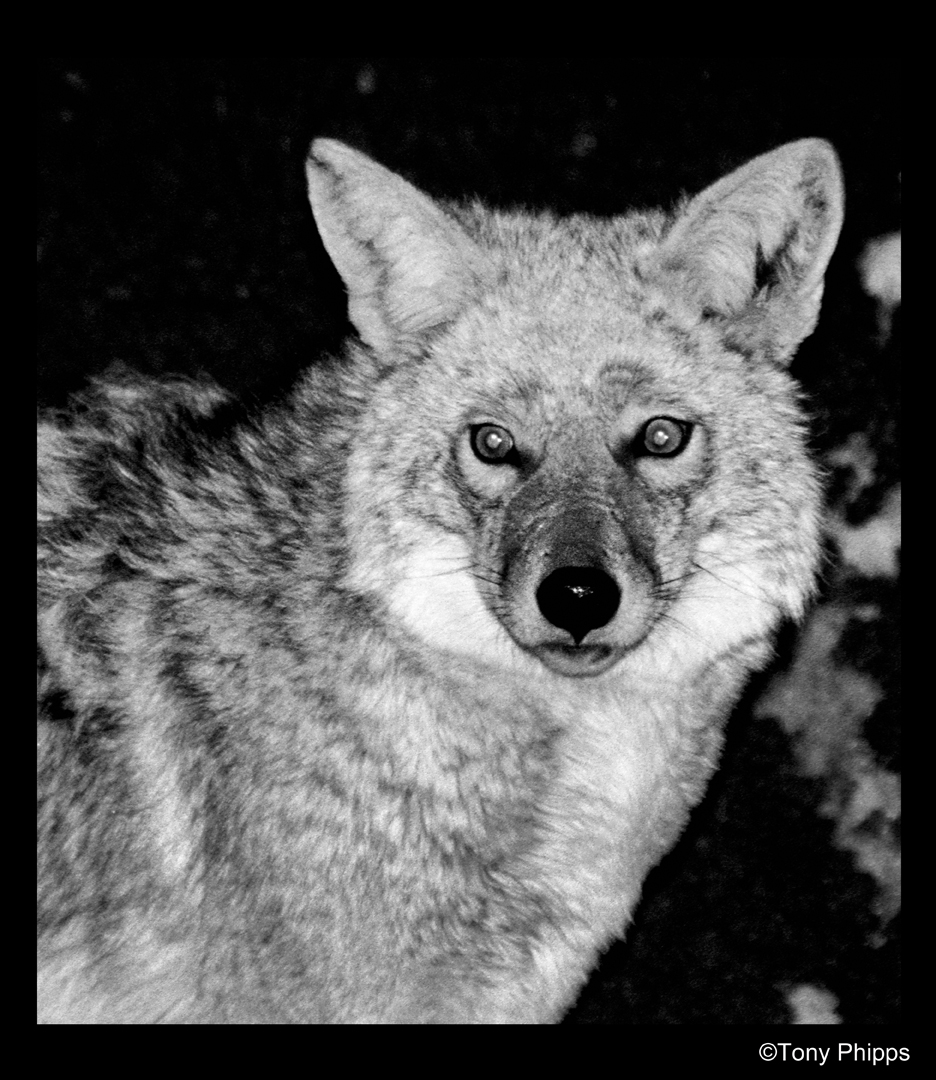 Colorado Coyotte B&W