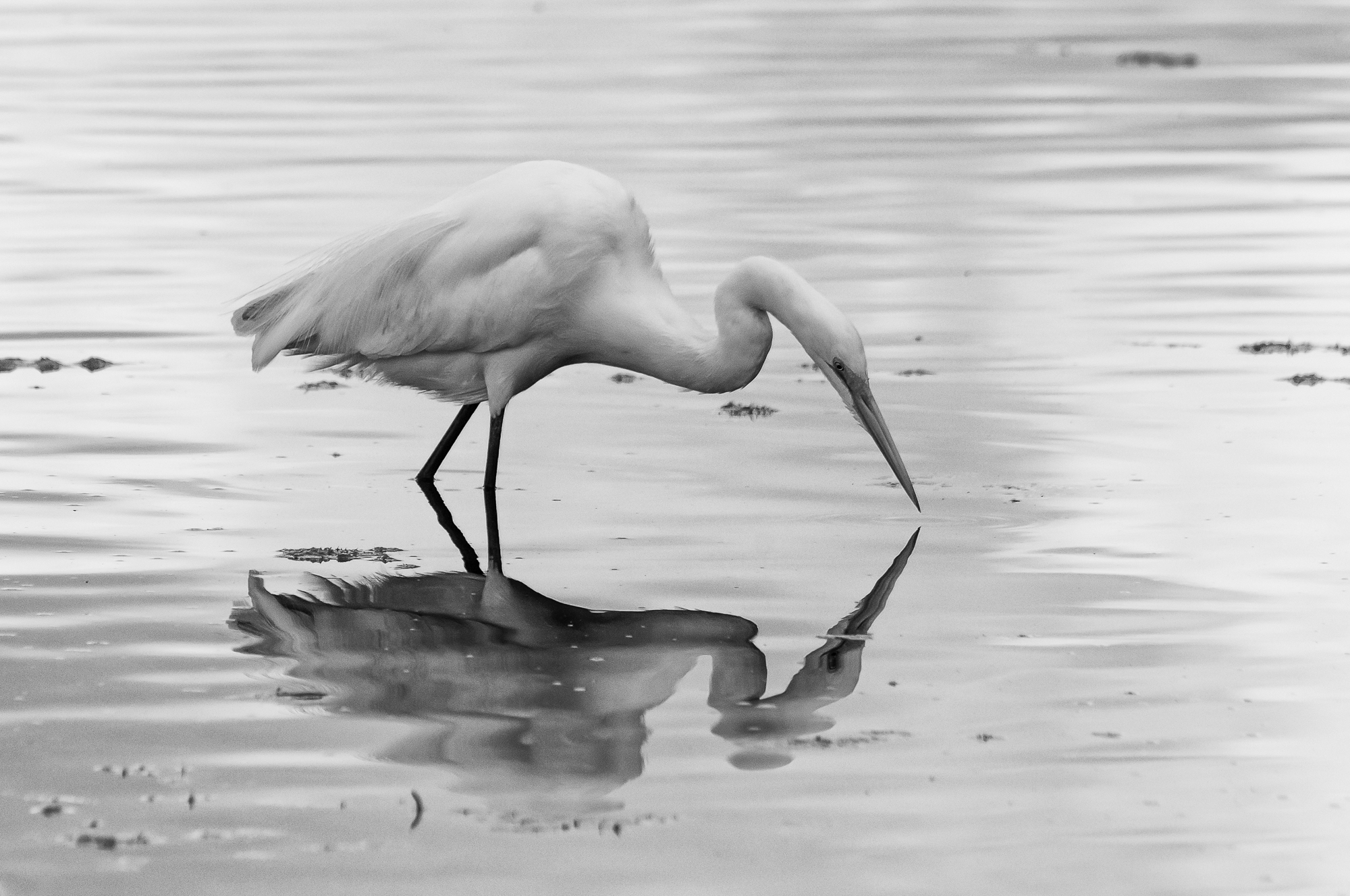 Egret Fishing-3