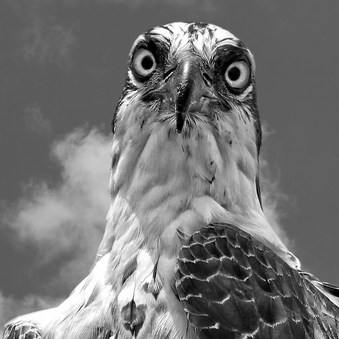 eye contact with a raptor