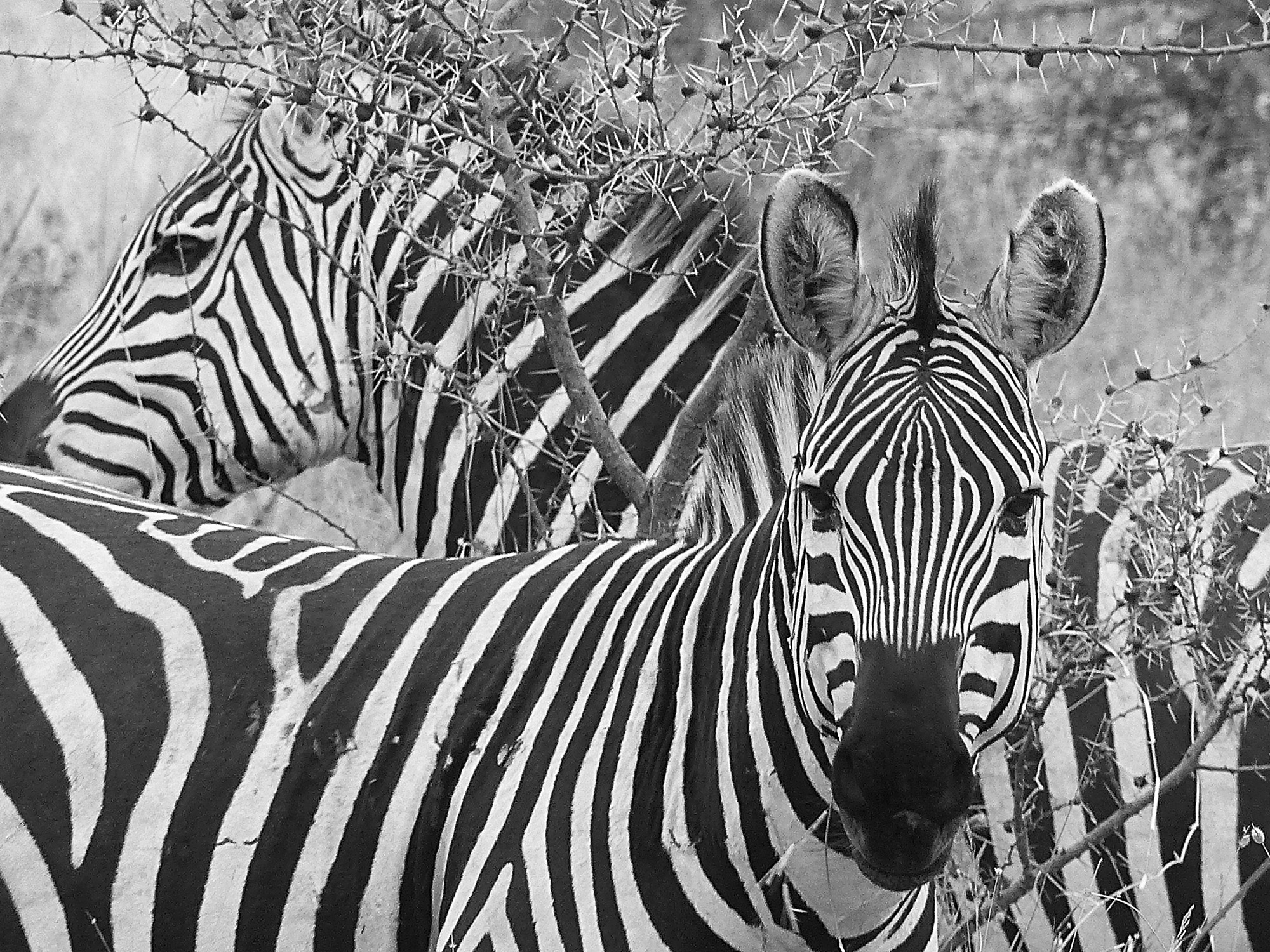 Manyara Zebras in the Acacias