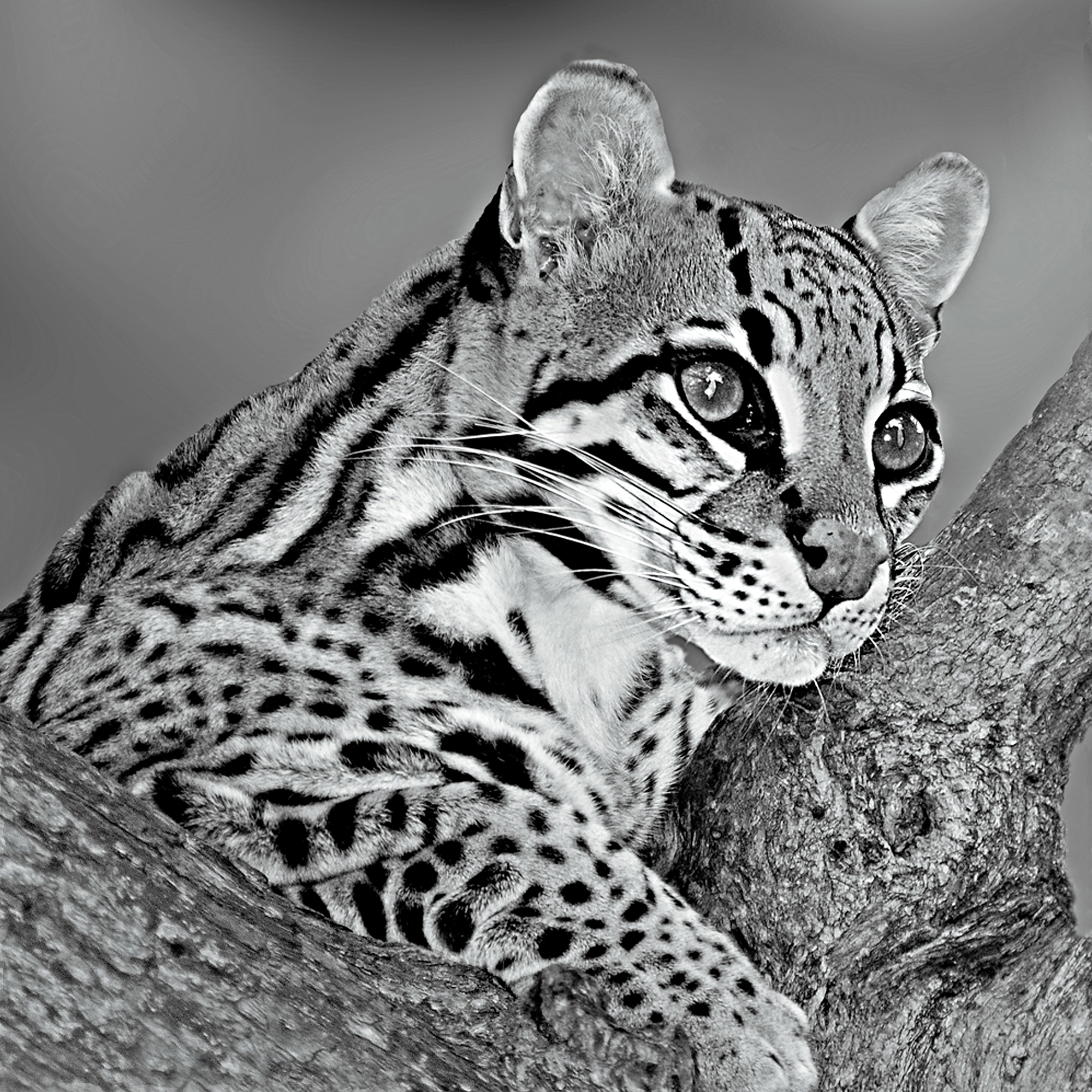 Ocelot in a Tree BW