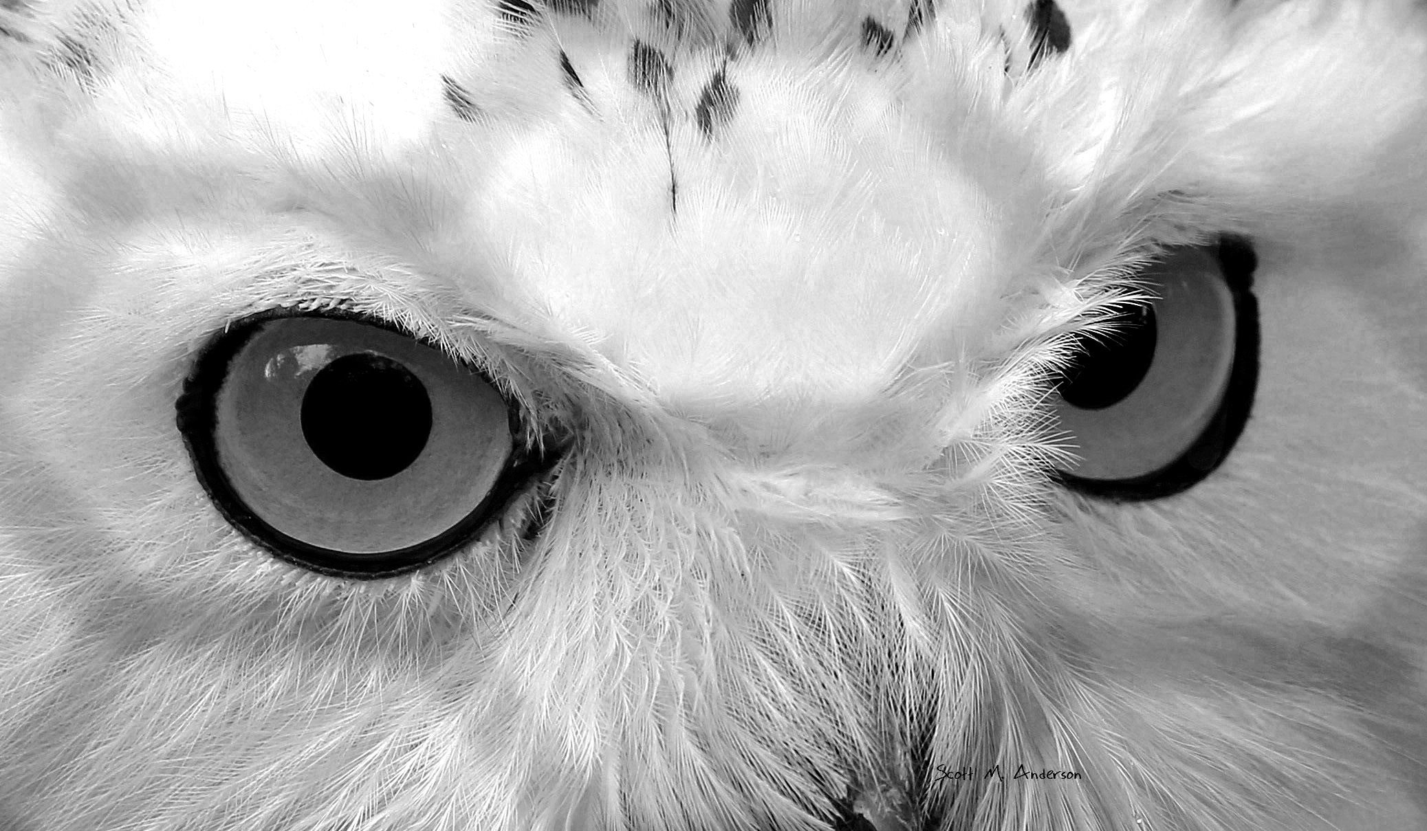 Snow Owl at Ross Park Signed Eyes BW